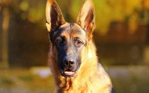 Картинка морда, фон, друг, портрет, собака