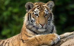 Картинка кошка, морда, тигр, фон, портрет, лапы, лежит, дикая кошка, тигренок, дикая природа, тигрёнок, подросток