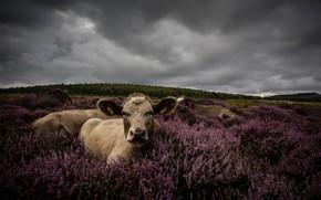 Обои поле, лес, взгляд, цветы, тучи, пасмурно, отдых, портрет, корова, коровы, пастбище, луг, лежит, кустики, вереск, ...