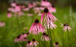Картинка цветы, сад, розовые, боке, рудбекия, эхинацея