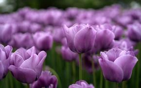 Картинка фиолетовые, тюльпаны, бутоны, сиреневые
