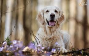Картинка ветки, природа, животное, собака, весна, первоцветы, пёс, ретривер