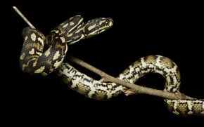 Картинка змея, ветка, питон, черный фон, рептилия, пятнистая