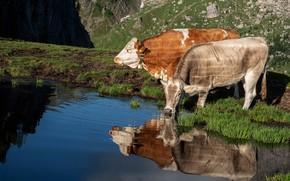 Картинка свет, отражение, берег, две, корова, коровы, пара, водопой, водоем, быки, бык