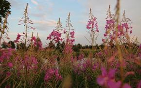 Картинка небо, облака, макро, цветы, Беларусь, иван-чай, моё фото