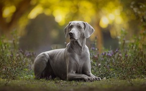 Картинка собака, боке, Веймаранер, Веймарская легавая