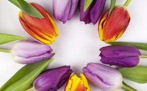 Картинка цветы, colorful, тюльпаны, flowers, beautiful, tulips, spring, purple, multicolored