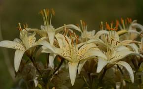 Картинка лето, цветы, лилия