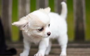 Картинка белый, собака, малыш, щенок, пёсик