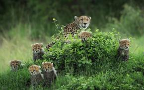 Картинка зелень, лето, трава, взгляд, природа, котята, гепард, малыши, мама, много, семейство, гепарды, мордашки, выводок, холмик, …