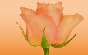 Картинка оранжевый, роза, бутон
