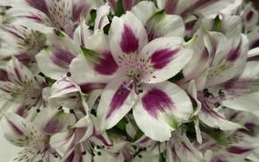 Картинка цветы, букет, двухцветные, альстромерия