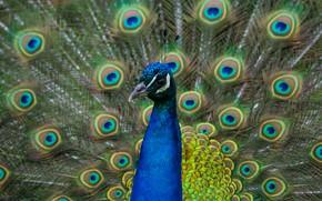 Картинка взгляд, птица, портрет, хвост, павлин