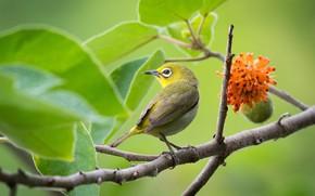 Картинка птицы, дерево, японская белоглазка, пичуга