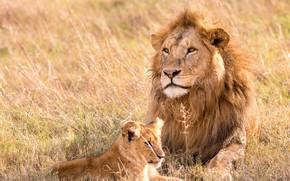 Картинка lion, animal, pet, leo