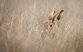 Картинка поле, трава, взгляд, серый, заяц, прятки, камуфляж, уши, мордашка, зайчик