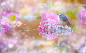 Картинка вода, цветы, блики, отражение, птица, обработка, голубые, розовые, водоем, боке, гортензия, пташка, синехвостка