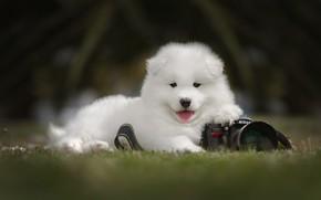 Картинка трава, взгляд, природа, темный фон, поляна, портрет, собака, фотоаппарат, щенок, лежит, белая, мордашка, фотокамера, самоед