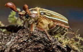 Картинка макро, жук, майский жук