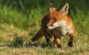 Картинка трава, природа, животное, лиса, лисица