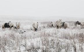 Картинка зима, поле, взгляд, снег, природа, конь, растительность, лошадь, кони, лошади, пастбище, пони, метель, снегопад, много, …