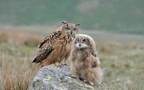 Обои сова, камень, птенец, птицы, Филин