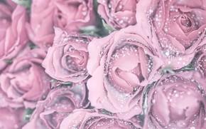 Картинка капли, макро, розы, розовые, бутоны