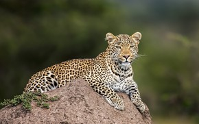 Картинка взгляд, морда, природа, поза, фон, камень, лапы, леопард, лежит, дикая кошка, размытый фон