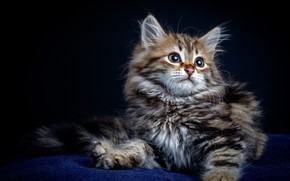 Картинка взгляд, поза, котенок, малыш, сидит, пушистик