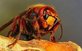 Картинка макро, фон, насекомое, шершень, кора