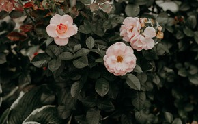 Картинка розы, розовый куст, бледно-розовые