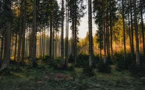 Картинка лес, деревья, сосны, сосновый бор