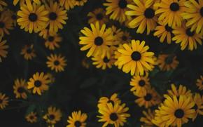 Картинка цветы, темный фон, куст, желтые, сад, много, рудбекия