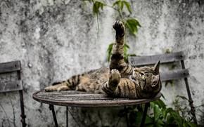 Картинка кошка, стол, зверь