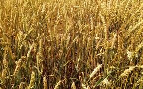 Картинка пшеница, поле, урожай, Пейзаж