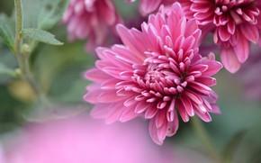 Картинка цветы, фон, размытие, розовые, астры