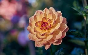 Картинка цветок, листья, макро, фон, георгина, желтая, боке