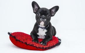Картинка взгляд, собака, мордочка, щенок, лежит, бульдог, подушка, уши