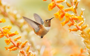 Картинка полет, цветы, птица, желтые, колибри, птичка, крылышки, желтый фон, боке