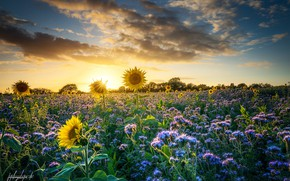 Картинка поле, лето, подсолнухи, закат, цветы