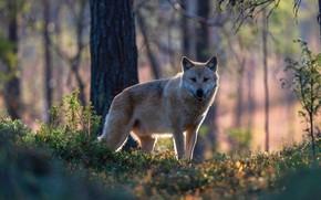 Картинка лес, взгляд, морда, свет, деревья, ветки, природа, волк, стоит