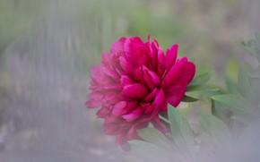 Картинка цветок, размытость, пион