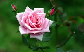 Картинка розовая, роза, ветка, бутоны
