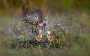 Картинка птицы, природа, Sandhill cranes