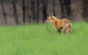 Картинка лес, трава, взгляд, деревья, поза, поляна, змея, лиса, профиль, охота, рыжая, лужайка, лисица, добыча, хищница