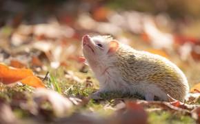 Картинка осень, белый, трава, взгляд, листья, свет, природа, фон, поляна, листва, мордочка, ежик, носик, ёжик, боке, …