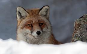Картинка взгляд, морда, снег, фон, лиса, рыжая