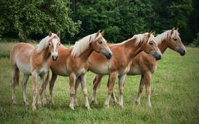 Картинка природа, кони, лошади, квартет, четыре