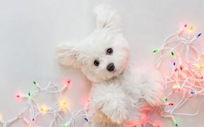 Картинка взгляд, поза, лапки, собака, огоньки, Рождество, щенок, белый фон, Новый год, лежит, белая, гирлянда, мордашка, …