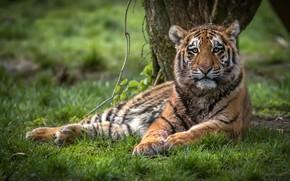 Картинка лето, трава, взгляд, морда, природа, тигр, поза, поляна, лежит, дикая кошка, тигренок, молодой, тигрёнок